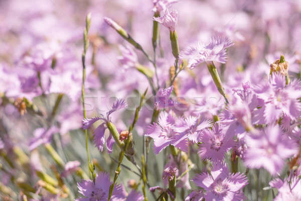 Stock photo: Field of pink blooming cloves