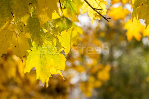 Golden maple leaves in the autumn city park Stock photo © artsvitlyna