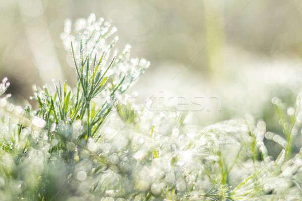 Morning dew on green grass Stock photo © artsvitlyna