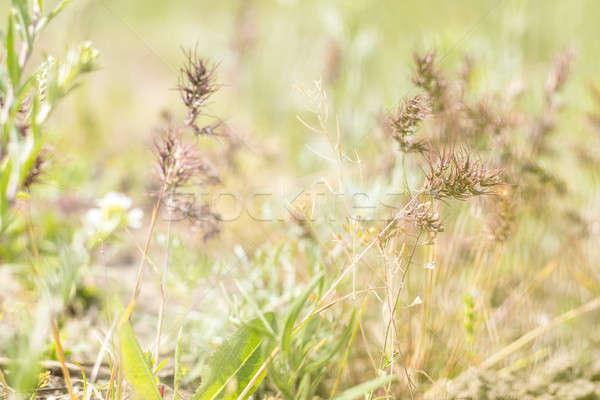 Green juicy grass in the field Stock photo © artsvitlyna