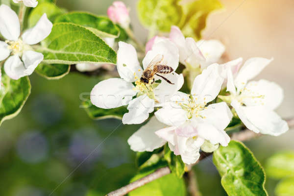 Bee collects nectar and flies. Apple tree blooming on the spring Stock photo © artsvitlyna