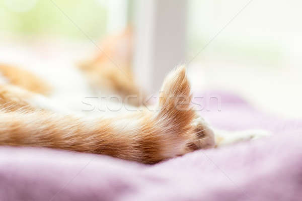 Stock photo: Red-and-white kitty sleeping on violet blanket