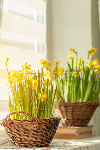 Morning sunlight on the daffodils. Bloom yellow daffodils on the Stock photo © artsvitlyna