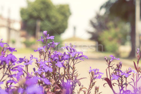 Purple lilac flowers at the city park alley background Stock photo © artsvitlyna