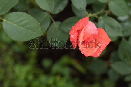 Stock photo: Beautiful red rose on green branch with on plain green backgroun