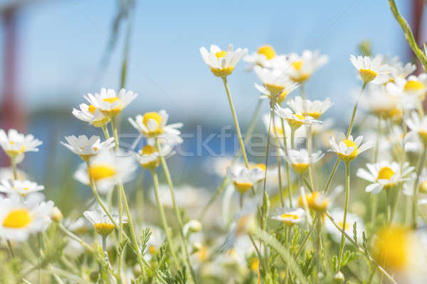 Wild daisies at the river bank  Stock photo © artsvitlyna