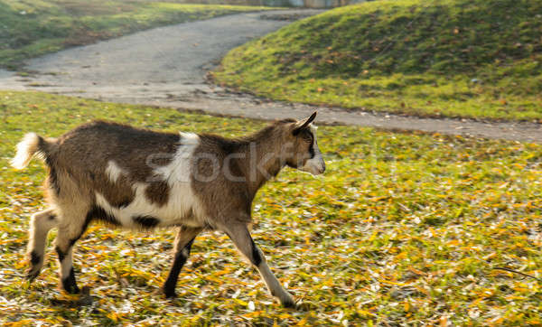 Goats graze on the lawn in the sunny autumn day Stock photo © artsvitlyna