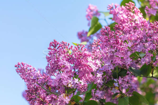 Stock photo: Lilac brunch at the blue sky background