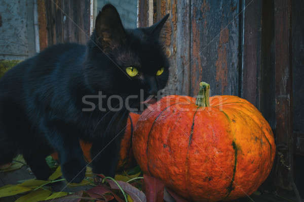 Bright pumpkins and black cat are ready for Halloween Stock photo © artsvitlyna
