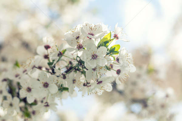 Stock photo: Sunny day. Spring flowers. Abstract blurred background. Shallow