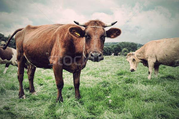牛 緑の草 空 顔 緑 青 ストックフォト © arturkurjan