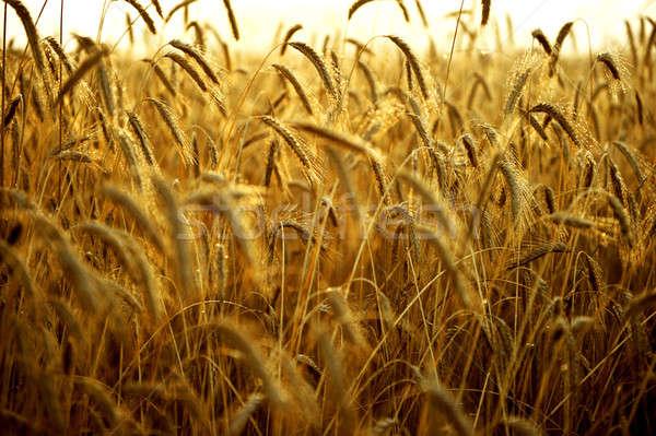 Spikelets of wheat, illuminated by bright sunshine. Wheat field Stock photo © arturkurjan