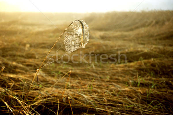 Cobweb in the light of the rising sun.  Stock photo © arturkurjan