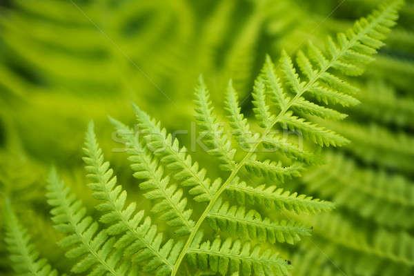 新鮮な 緑 シダ 葉 森林 春 ストックフォト © arturkurjan