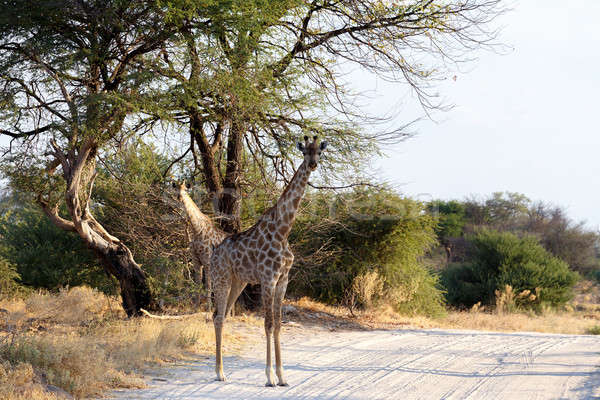 Giraffa camelopardalis in national park, Hwankee Stock photo © artush