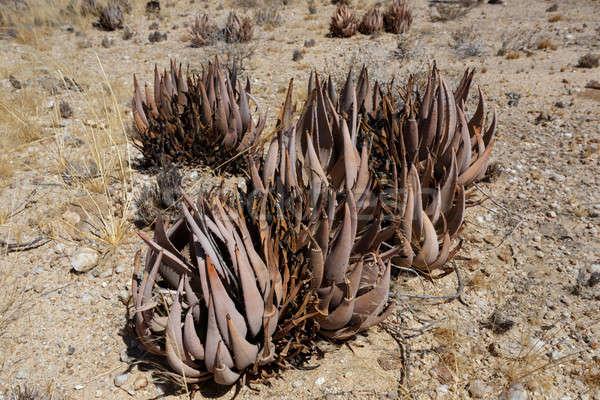 цветения алоэ Намибия пустыне дерево Сток-фото © artush