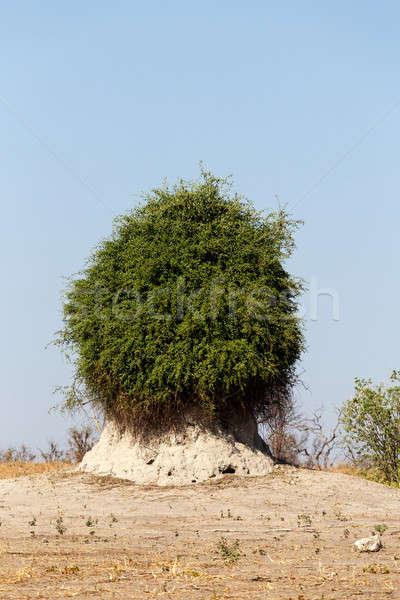 Bielec zielone Bush parku Botswana domu Zdjęcia stock © artush