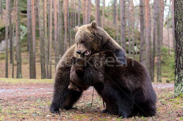Stockfoto: Bruine · beer · winter · bos · groot · vrouwelijke · mannelijke