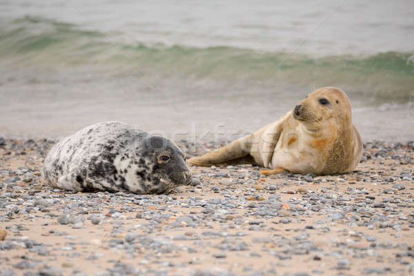 Young baby atlantic Grey Seal Stock photo © artush