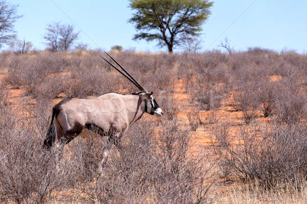 Gemsbok, Oryx gazella in kgalagadi Stock photo © artush