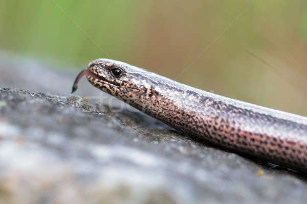 Lent ver aveugle serpents alimentaire ravageur Photo stock © artush