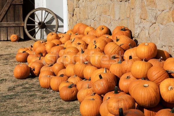 Ripe autumn pumpkins on the farm Stock photo © artush
