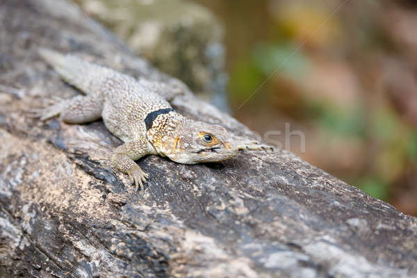 common small collared iguanid lizard, madagascar Stock photo © artush