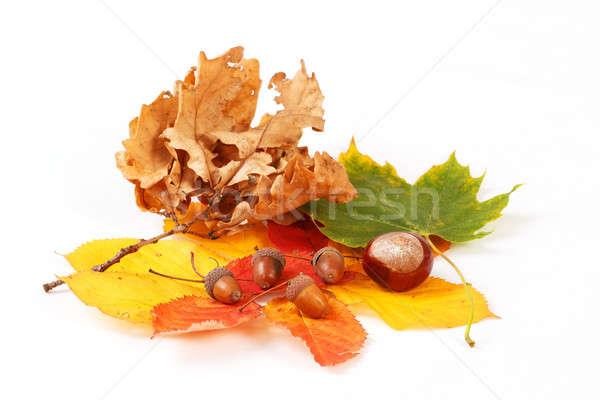 Renkli sonbahar yaprakları meşe palamudu beyaz dizayn yaprak Stok fotoğraf © artush