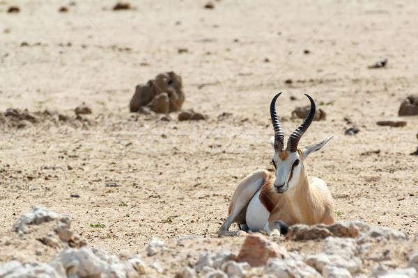 Portrait of Springbok Antidorcas marsupialis Stock photo © artush