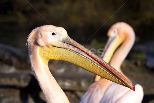 Raro aves pequeño estanque agua pluma Foto stock © artush