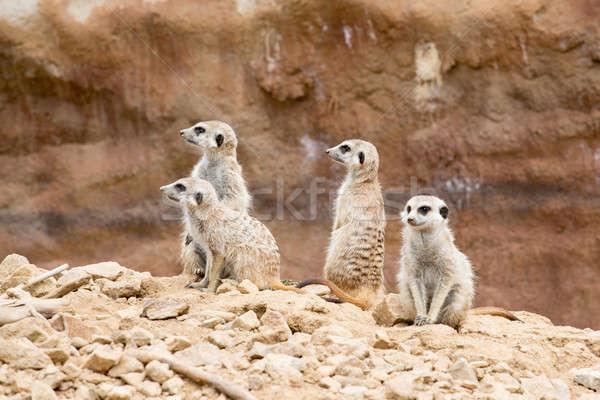 meerkat or suricate Stock photo © artush
