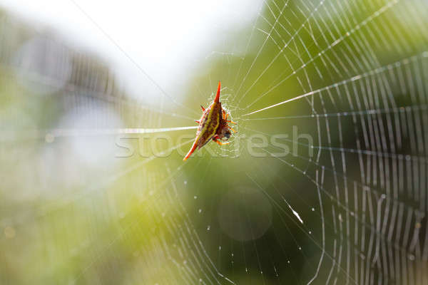 Spiny orb-weaver or crab spider Stock photo © artush
