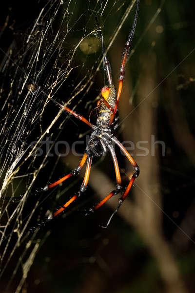 Golden silk orb-weaver, nephila on net Madagascar Stock photo © artush