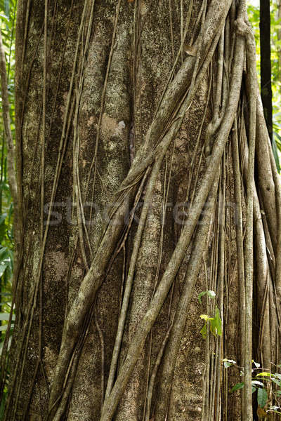 massive tree is buttressed by roots Tangkoko Park Stock photo © artush