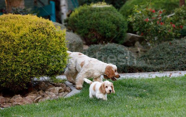 ストックフォト: 英語 · 子犬 · 家族 · 楽しむ · 再生
