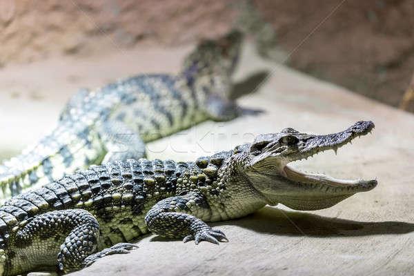 Kicsi krokodil fogak portré szem száj Stock fotó © artush