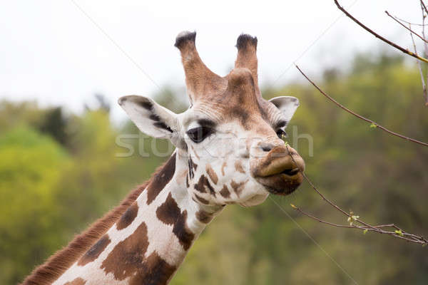 young cute giraffe grazing Stock photo © artush