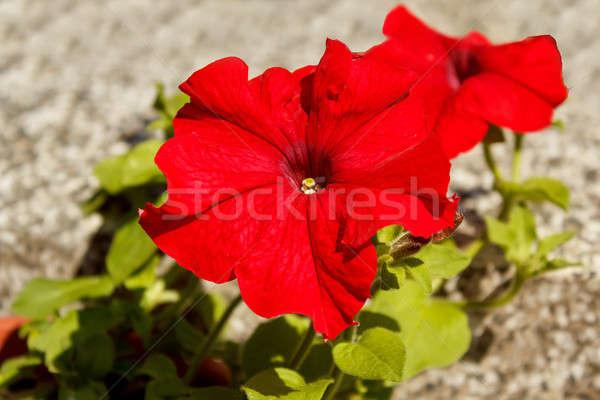 Piros virág véna kert háttér zöld Stock fotó © artush