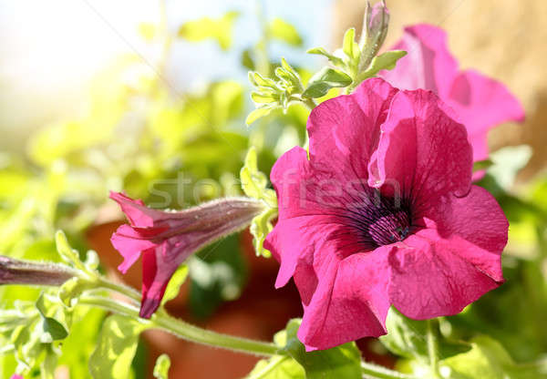 Pembe çiçek damar bahçe arka plan yaz yeşil Stok fotoğraf © artush