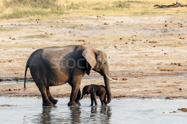 African elephants with baby elephant drinking at waterhole Stock photo © artush
