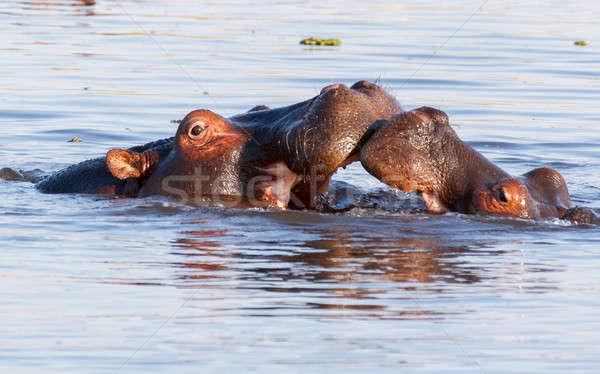 Two fighting young male hippopotamus Hippopotamus Stock photo © artush
