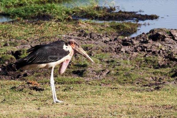 Park Botswana természet nyár madár utazás Stock fotó © artush