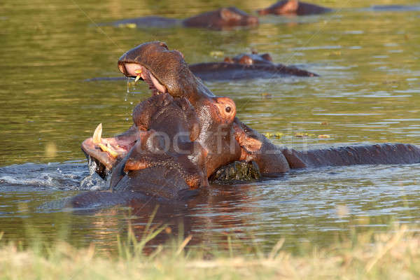 Two fighting young male hippopotamus Hippopotamus Stock photo © artush
