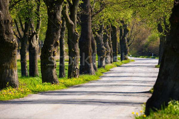 Aszfalt út fa sikátor gyönyörű tavasz Stock fotó © artush