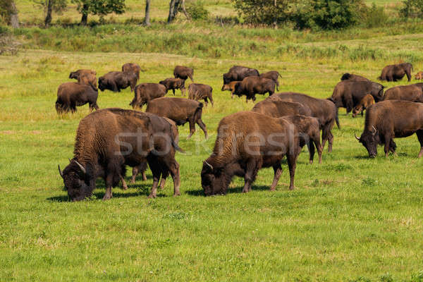 American bison (Bison bison) simply buffalo  Stock photo © artush