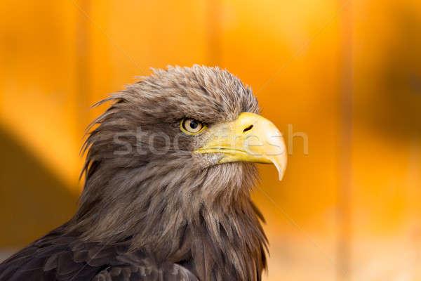 Big Sea Eagle (Haliaeetus albicill) Stock photo © artush