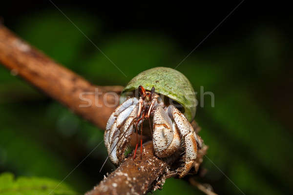 Hermit Crab with green snail shell Madagascar Stock photo © artush
