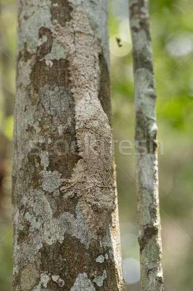 masked mossy leaf-tailed gecko Stock photo © artush