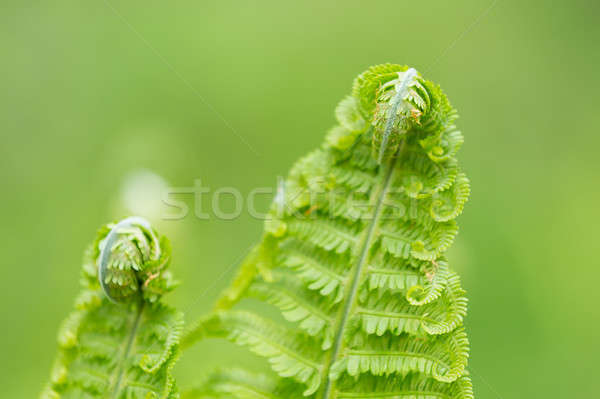 Young green twisted fern leaves Stock photo © artush