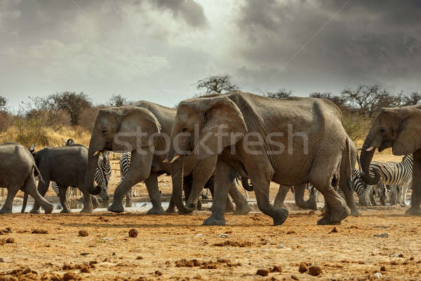 Majestic african elephants, Etosha, Namibia Stock photo © artush